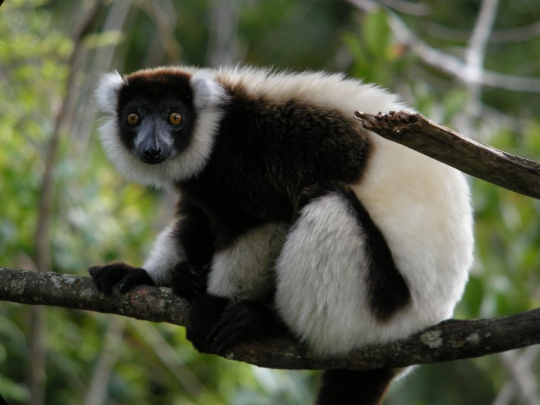 Black-and-White_Ruffed_Lemur,_Mantadia,_Madagascar